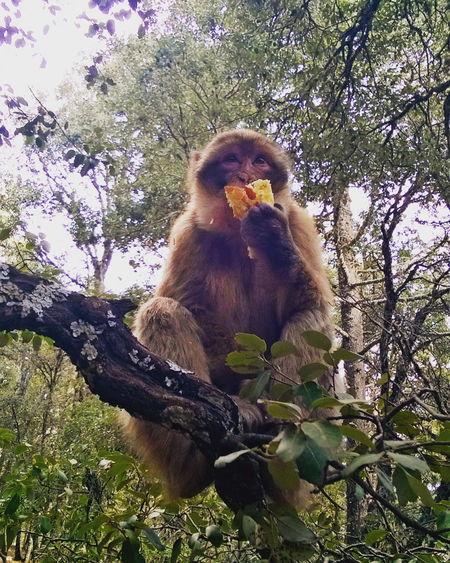 Ape Monkeybreakfast Monky Wildlife