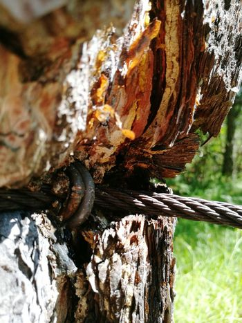 Carved In Wood Nature Taking Over Tree Forest Rope Wire Steel Cable Deformation Cut Bark Rind Inside Alps Austria Sunny Summer Close Up Destruction