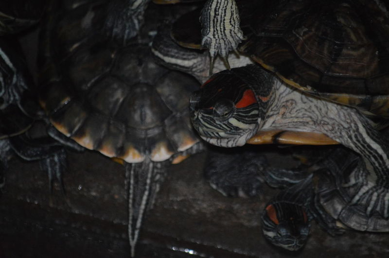 Animal Shell Animal Themes Animals In The Wild Close-up Day Nature No People Outdoors Reptile Tortoise Tortoise Shell Turtle