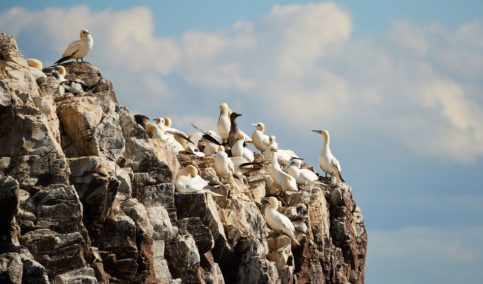 Bass Rock Bass Rock Gannets Animal Themes Animal Wildlife Animals In The Wild Beauty In Nature Bird Blue Sky Day Flight Flying Nature No People Outdoors
