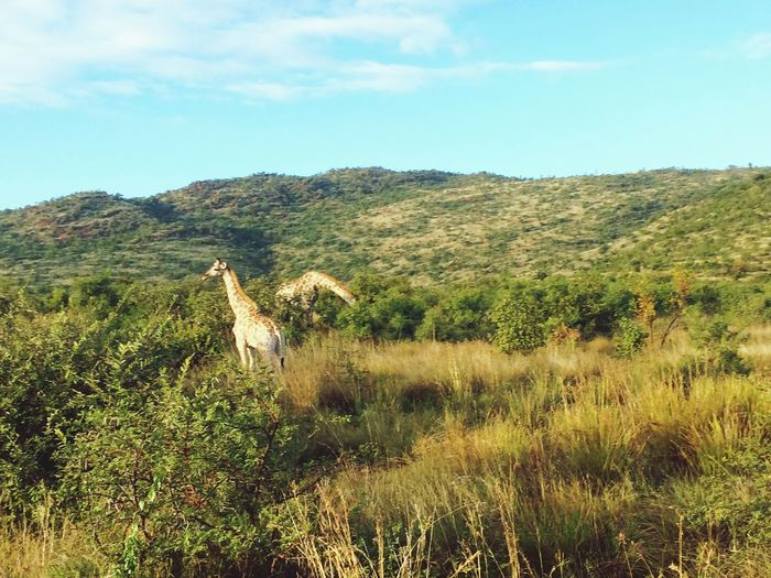 The reason why we visited Pilanesberg National Park was to see the beauty of the wild animals on their natural environment African Africa Pilanesberg National Park South Africa Fauna Mammals Tall Wide Open Spaces Game Drive Plant Sky Tree Growth Nature Beauty In Nature The Great Outdoors - 2018 EyeEm Awards Tranquility Day No People Green Color Field Land Landscape Tranquil Scene Scenics - Nature Environment Animal Grass Sunlight Animal Themes The Great Outdoors - 2018 EyeEm Awards