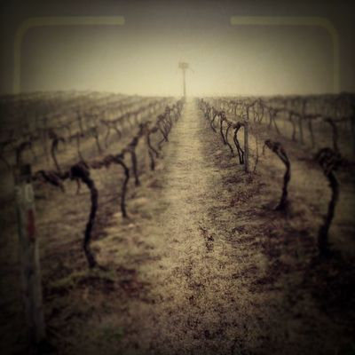 Early morning in the vineyards | edited with the new iPhone app Viewmatic. Viewmatic