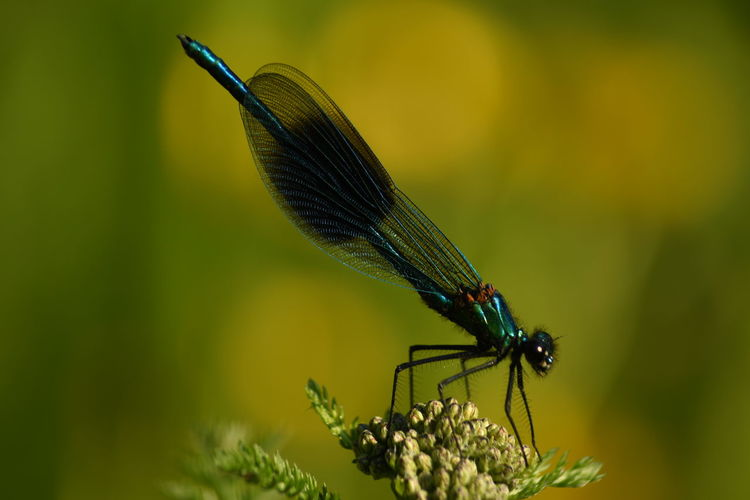Animal Animal Themes Animal Wildlife Animal Wing Animals In The Wild Beauty In Nature Beauty In Nature Close-up Damselfly Day Focus On Foreground Green Color Insect Invertebrate Macro Mayfly Nature No People One Animal Outdoors Plant Selective Focus Zoology