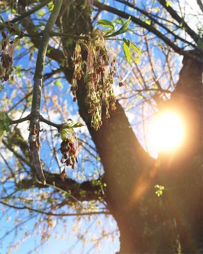 Tree Sunlight Low Angle View Lens Flare Sunbeam Sun Nature Branch Growth Beauty In Nature Leaf Summer Sky Outdoors Tranquility No People Day Close-up Light Effect Freshness EyeEmNewHere