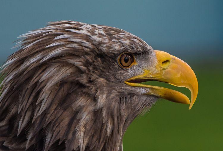 Close-Up Of Eagle Head