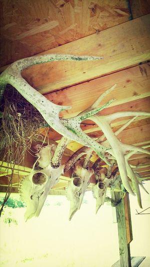 Antlers Skull Deer Skull