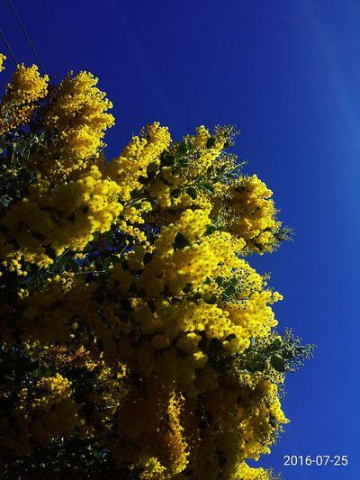 Inthesun InTheMorning Yellow Flower Yellow Yellow Flowers Taking Photos Skyisblue Underthesun Eyeemflowerlover Sunnyday☀️ Eyeemflowers Eyem Flowers Wild Flowers Flowerlovers Nature Australiannative Wattle Flower Wattle Tree Flower Porn Blue Sky
