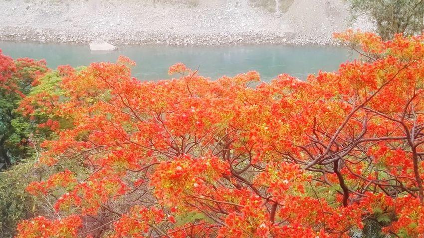 凤凰树系列17 Tree Water Flower Autumn Leaf Lake Change Sky Plant