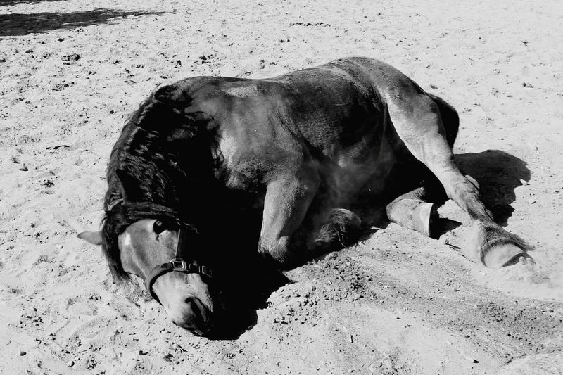 Horse Photography  Draft Horses Renish German Coldblood EyeEm Selects Pets Beach Sand