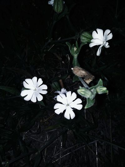 Flower White Color Flower Head Petal Fragility Nature Beauty In Nature Beauty Freshness Beauty In Night