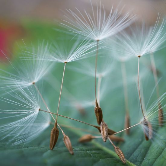 the abstract beautiful dandelion flower in the garden Dandelion Flower Plant Seed Abstract Nature Floral Garden Beauty In Nature Fragility Fragile Softness Delicate Backgrounds Wallpaper Decoration Ornament Decorative Vulnerability  Dandelion Seed
