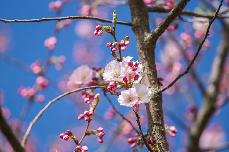 Low Angle View Of Pink Cherry Blossoms In Spring