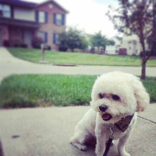 Albertphotobomb Shopdog Rockintheburbs Haircut fresh groomed bichon poodle mix lovemydog instadog