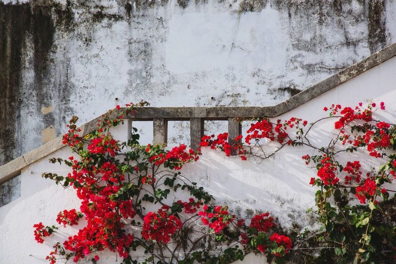 | red roses and hidden stairs | Wall White Wall Roses Geometry Urban Geometry Pattern Pattern Pieces Pattern, Texture, Shape And Form Staircase Stairs Background Texture Texture Red And White Stone Steps Stone Wall Tendrils Rose Tendrils Cascais Portugal Portugal_em_fotos