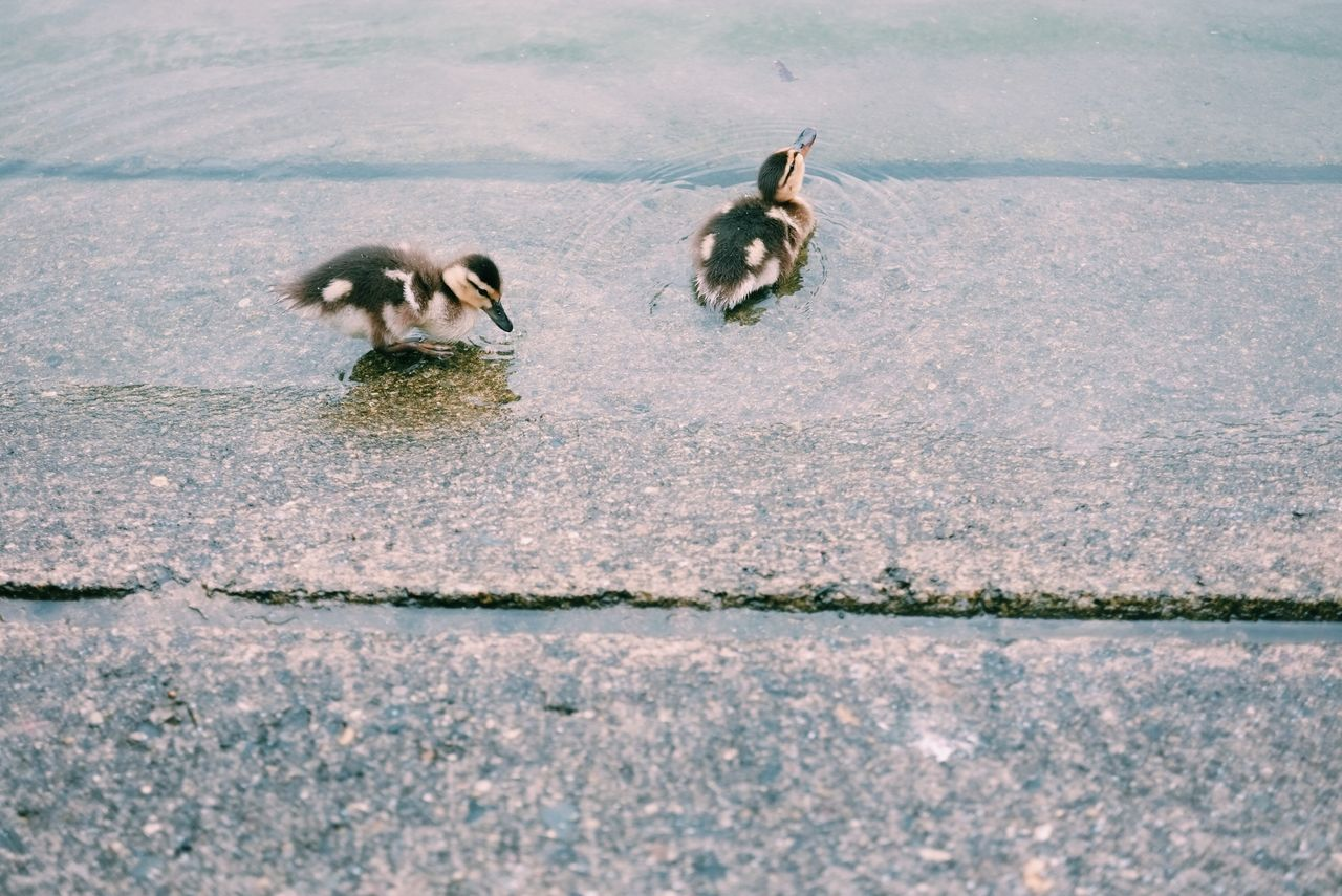 High angle view of ducklings in water