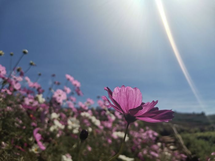Close-up of pink flower against sky