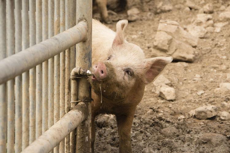 Cute pig Animal