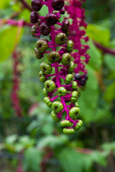 Phytolacca americana EyeEm Nature Lover EyeEm Best Shots EyeEm Selects EyeEm Gallery Plant Growth Focus On Foreground Close-up Beauty In Nature No People Nature Flowering Plant Fragility Red Freshness Outdoors Tree Pink Color Green Color Day Flower Purple Food Food And Drink