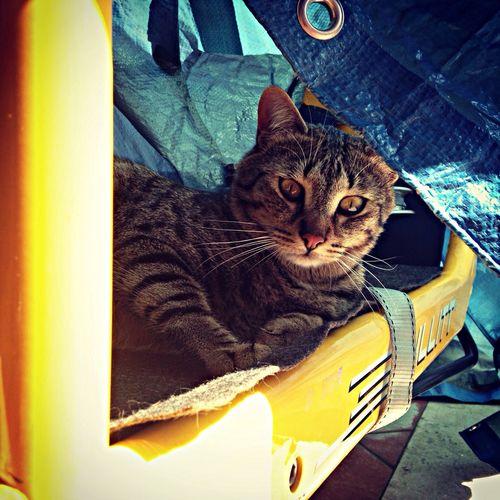 Alberto on Bullitt Bullitt Albert Cat On Bullitt Cat On Bicycle