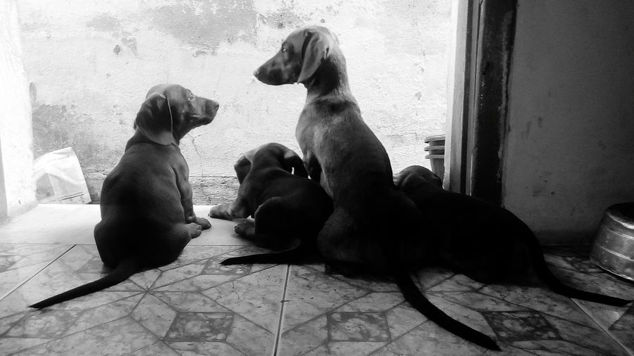 Animal Mammal Animal Wildlife Animal Themes No People Day Outdoors Domestic Animals Baboon Nature Portrait Looking At Camera Indoors  Indoors  Dachshund Dog Pets Black And White Friday