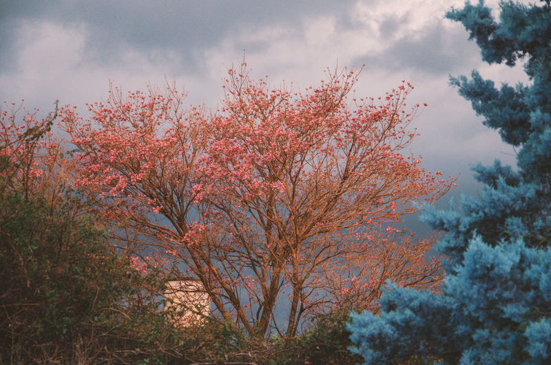 HOME Branches Colors Beauty In Nature Branch Branches And Sky Change Cherry Blossom Cloud - Sky Colorful Day Flower Flowering Plant Flowers Growth Low Angle View Nature No People Outdoors Plant Scenics - Nature Sky Springtime Tranquil Scene Tranquility Tree