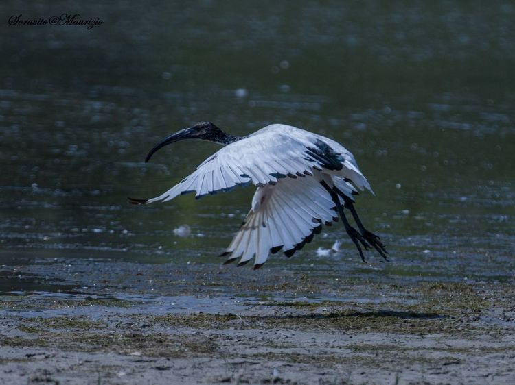 Ibis Isola della cona in volo Nature No People Bird Animal Themes Relaxing
