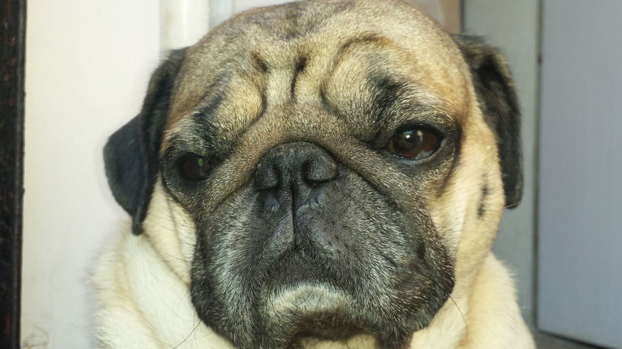 The Pug Life... Animal Head  Animal Nose Animal Themes Close-up Cute Dog  Cute Pug Dog Domestic Animals Focus On Foreground Handsome Dog Headshot Looking No People One Animal Pet Pets Pug Pug Face Zoology