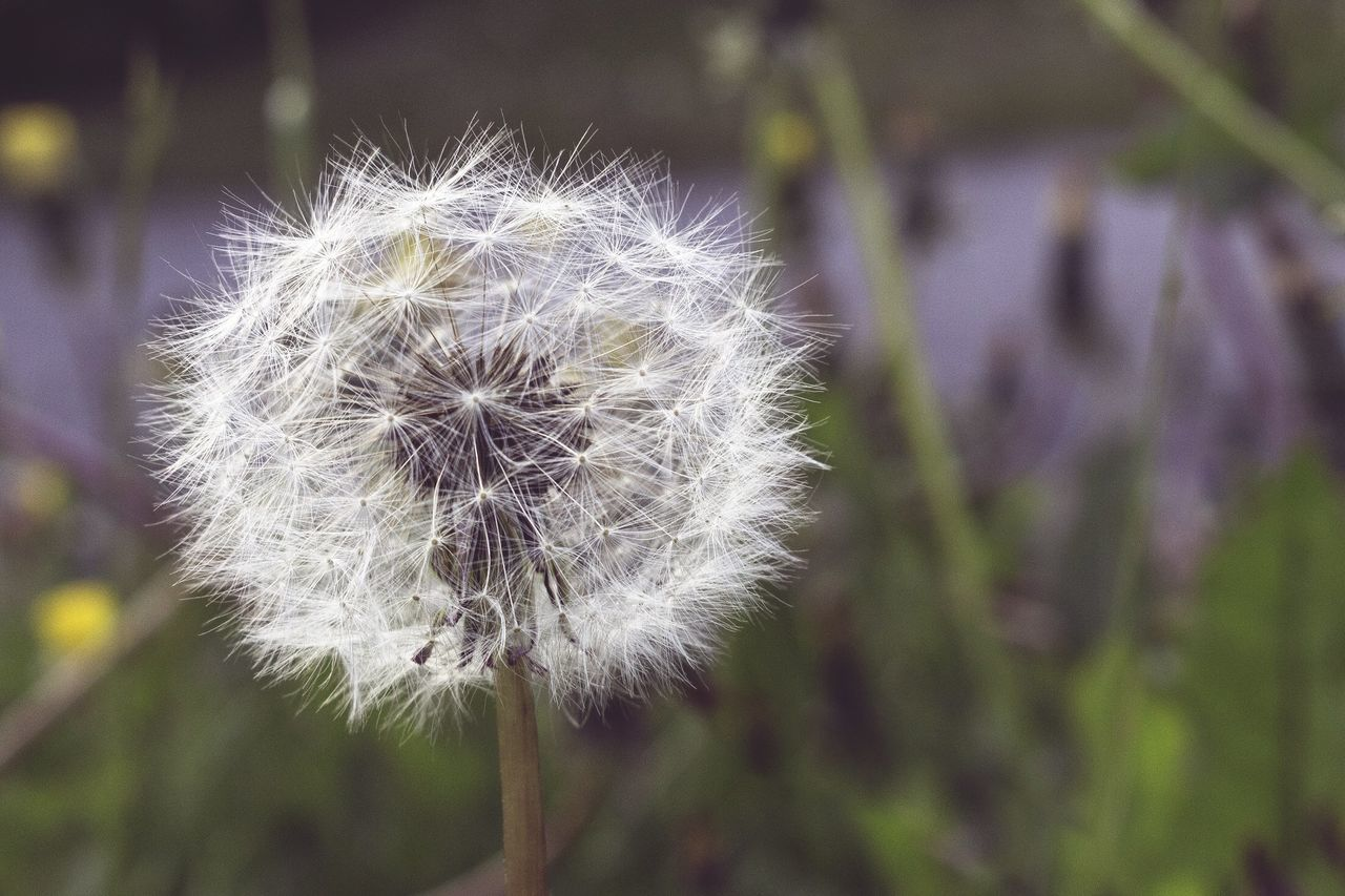 Close-Up Of Dandelion Growing In Field