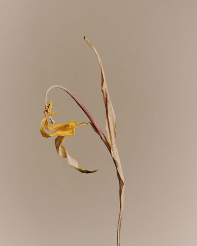 Close-up of wilted plant against white background
