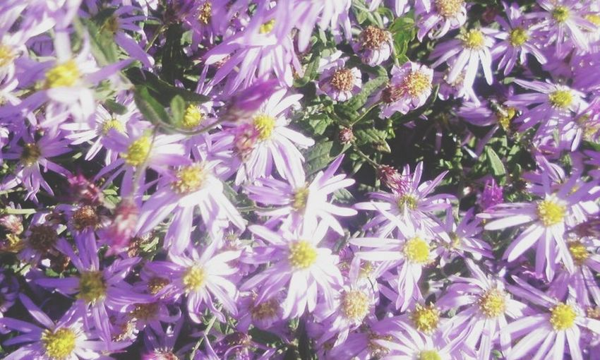 The Essence Of Summer Japanese Classical Literature Flower Aster Tataricus Tatarian Aster Japanese Tatarian Aster Japanese Flower Colors Herb Kampo Japanese Herb Japan Nature Natural Flower Sion Sion Flower