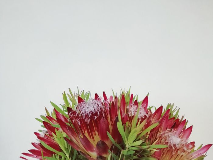 Flower Plant Nature Flower Head Beauty In Nature Still Life Flowers South African Flora Fynbos Protea Smell The Flowers Pink Color Nature