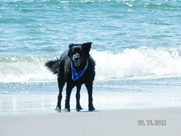 Dog Beach Pets Sea Animal Water Summer Black Color German Shepherd Sand Portrait Domestic Animals One Animal Looking At Camera Outdoors Mammal Wave Happiness Animal Themes Day Dogs No Dogs Allowed Hunde Hundefotografie Dogs Of EyeEm