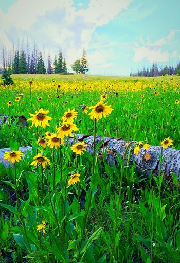 Everything's Coming up ... Arnica! A subalpine meadow in the Snowy Range of the Medicine Bow Mountains sports a carpet of bright yellow Arnica. Check This Out Taking Photos Natural Beauty The Great Outdoors - 2016 EyeEm Awards EyeEm Nature Lover Wildflowers Wildflowers In Bloom Wildflower Meadow Nature Nature_collection Nature Photography EyeEm Gallery Iphonephotography IPhoneography Showcase June This Week On Eyeem Medicine Bow Range Malephotographerofthemonth Arnica Arnica Montana From My Point Of View Sky And Clouds Skyporn Sky BYOPaper!