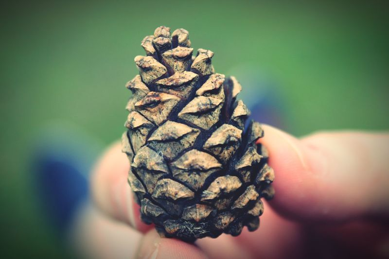 Cropped Hand Holding Pine Cone