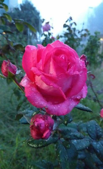 Flower Head Flower Water Peony  Red Pink Color Petal Wild Rose Rose - Flower Drop