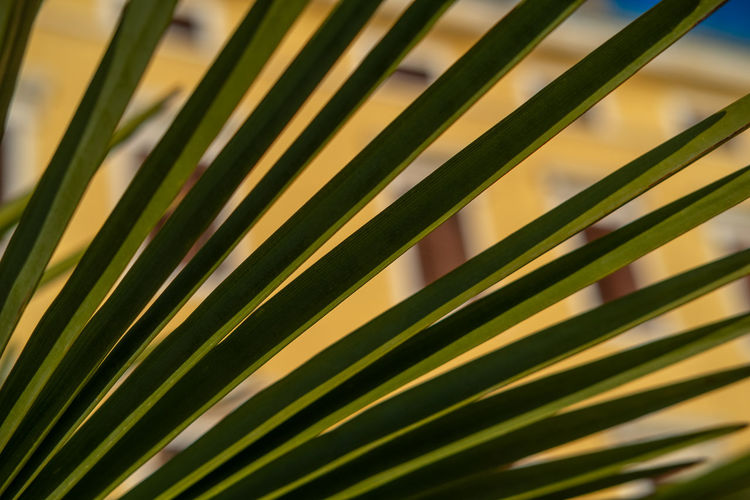 Palm leaf in an old seaside town Growth Leaf Plant Plant Part Beauty In Nature Green Color Close-up No People Nature Palm Leaf Palm Tree Day Focus On Foreground Natural Pattern Sunlight Pattern Tree Botany Blade Of Grass Outdoors Summertime Summer Old Buildings