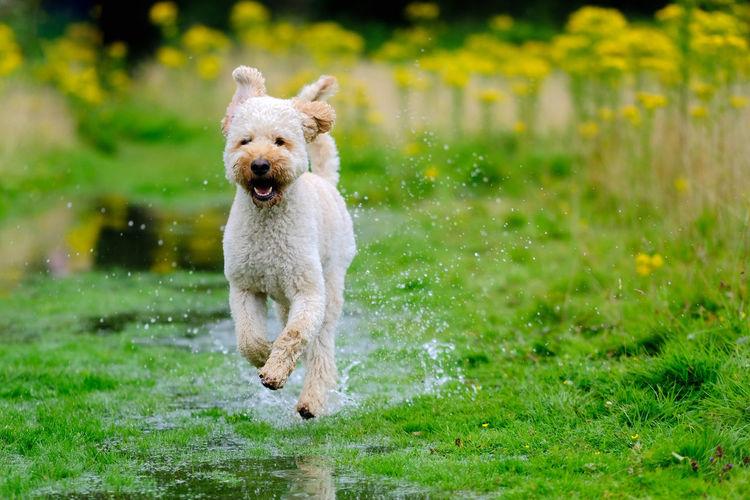 Labradoodle running on wet grassy field