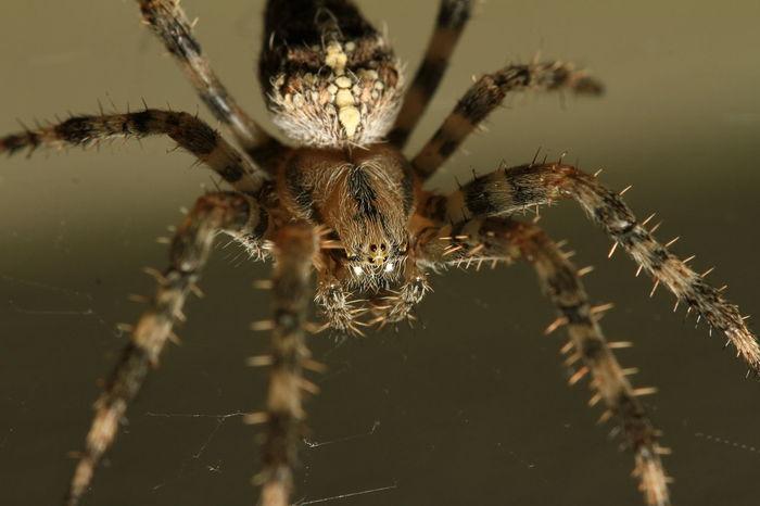 Spiderweb Spinnennetz Netz Web Spider Kreuzspinne Spinne Macro Makro
