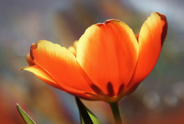 Flowering Plant Flower Fragility Vulnerability  Petal Beauty In Nature Freshness Plant Close-up Growth Inflorescence Flower Head Focus On Foreground Orange Color Nature No People Day Tulip Outdoors Orange