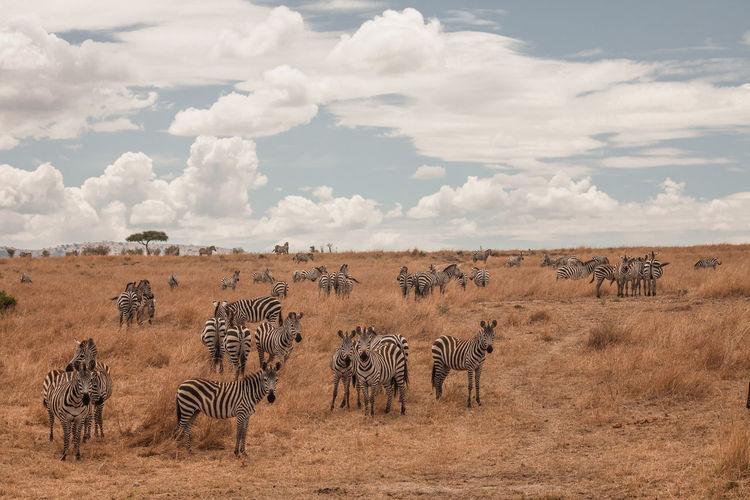 Kenya Masai Mara National Reserve Masai Mara Africa Safari Wildlife Animal Animals In The Wild Zebra Group Of Animals Animal Wildlife Striped Animal Themes Mammal Herd No People Nature Outdoors Herbivorous My Best Photo