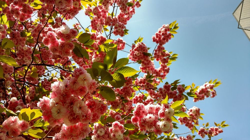 Plant Growth Freshness Beauty In Nature Tree Nature Sky Low Angle View Flower Flowering Plant Leaf Plant Part No People Branch Day Blossom Pink Color Fragility Sunlight Outdoors Springtime Cherry Blossom Cherry Tree Spring Lilac
