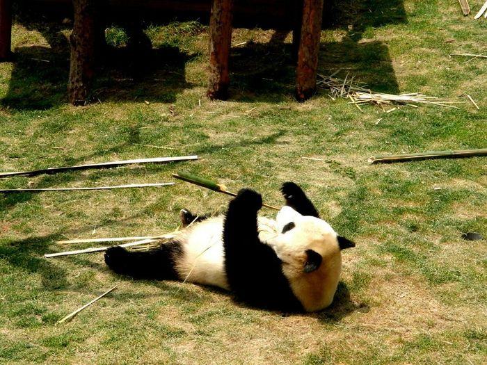Panda PANDA ♡♡ Cutepanda Inthezoo Zoo Animals Iloveanimals Cute Animals