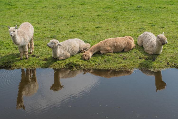 Bollenstreek, Tulip Wonderland Animal Domestic Animals Group Of Animals Livestock Llama Mammal Nature Outdoors Reflection Water