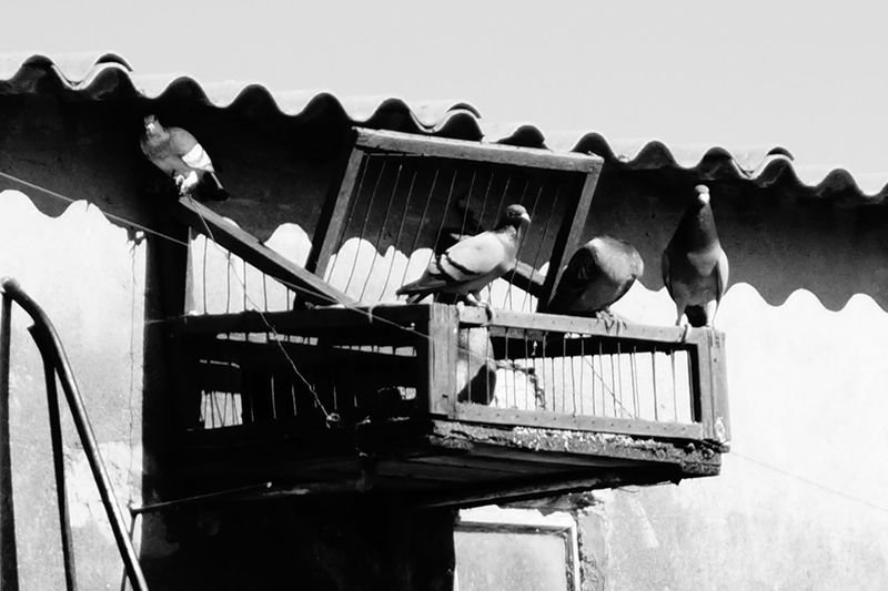 Pigeons Black&white Light And Shadow Nature Grey Birds Wild Freedom Be Free Flying
