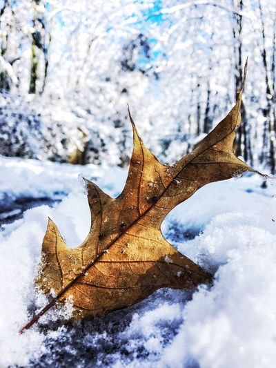 Snowman Leaf Winter Cold Temperature Change Nature Autumn Weather Snow Outdoors Beauty In Nature Dry Day Frozen No People Cloud - Sky Scenics Maple Leaf Maple Sky Close-up Shades Of Winter