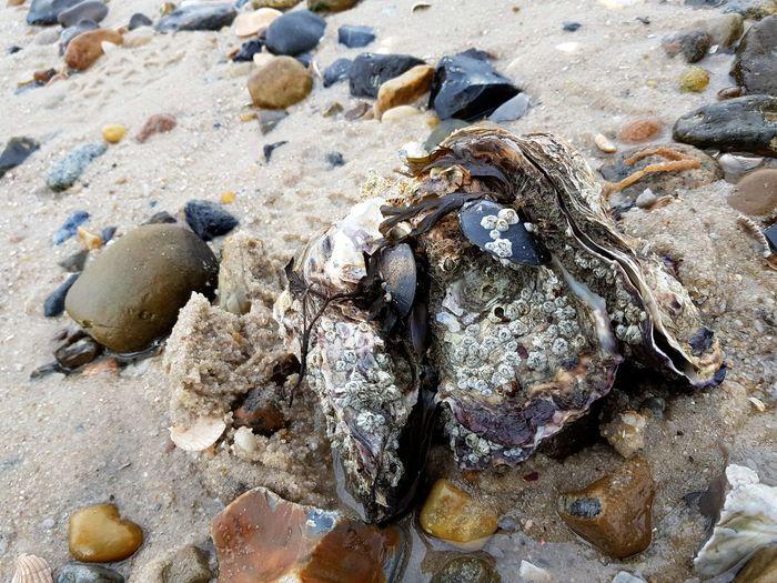 Austern Auster Muscheln EyeEm Selects Beach Sand Sunlight Seashell Shore Close-up Shell The Still Life Photographer - 2018 EyeEm Awards