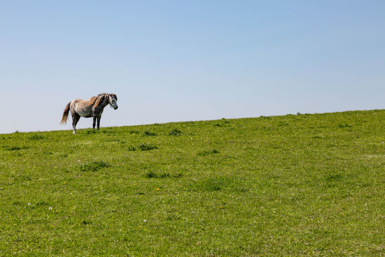 A horse standing on a hill, in the South Downs in Sussex Animal Animal Themes Animal Wildlife Clear Sky Copy Space Day Domestic Animals Environment Equine Field Grass Green Color Herbivorous Horse Land Livestock Mammal Nature No People One Animal Outdoors Plant Sky Sussex Vertebrate