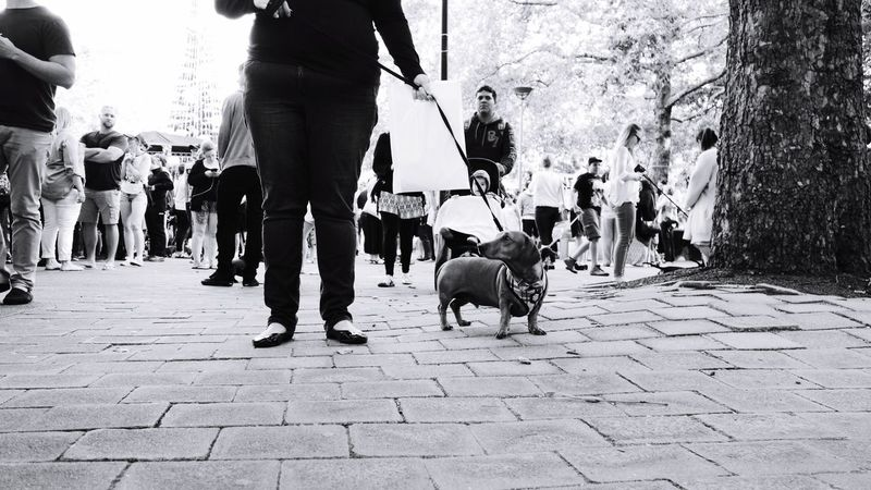 Men Domestic Animals Street Walking Large Group Of People Women Real People Pets Dog Low Section Mammal Cobblestone Standing City Outdoors Day Adult Black And White Dachshund Group Of People Animal Walk Pet People Low Angle View Pet Portraits