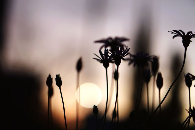 Sunset Growth Plant Flower Nature Focus On Foreground Tranquility Relaxing Eye4photography  Fragility Silhouette No People Close-up Outdoors Freshness Flower Head Day