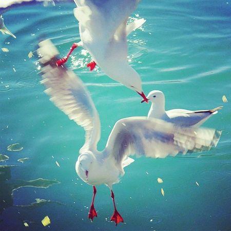 Seagull Aussiephotos Newsouthwales